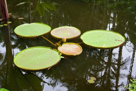 Victoria amazonica. Giant water flower.