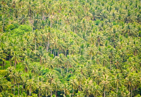 The forest of coconut palms. Camiguin Island. Philippines.