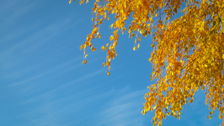 Yellow autumn leaves with bright blue sky in background.