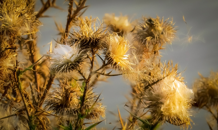 Close up of dry thistle flower in autumn