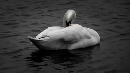 Swan in black and white close-up Stock Photo
