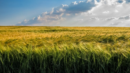 Yellow and green wheat field with blue sky and clouds. Stock Photo