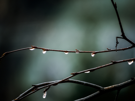 Close up of water droplets on bare branches on green background