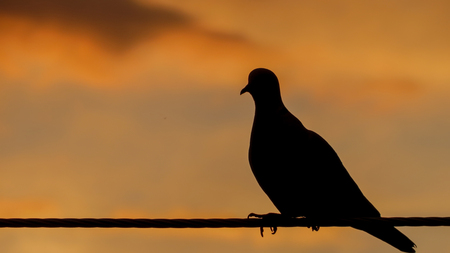 Close up of pigeon sitting on wire with orange sunset in background