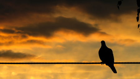 Silhouette of a pigeon sitting on a wire with orange sky in background