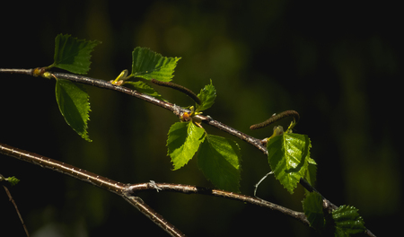 Closeup of young spring leaves of a birch tree on dark background