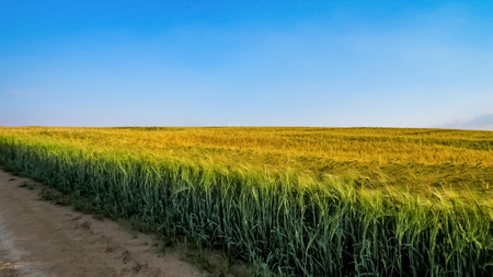Yellow and green wheat field with bright blue sky and dirt road