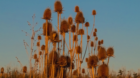 Group of dried teasel plants with blue background