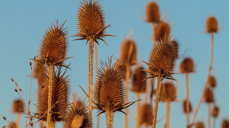 Close up of group of dried teasel plants with blue background Stock Photo
