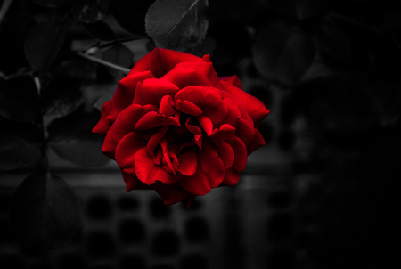 Single blood red rose on monochromatic dark background