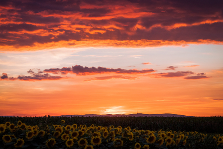 Dramatic red and orange sunset over sunflower fields with mountain in backgorund.