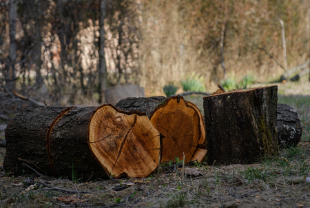 Freshly Cut Tree Logs. Sawed tree trunks. Stock Photo