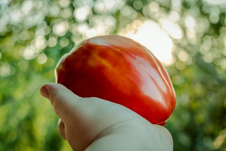 Hand Holding Large Organic Tomato with Sunlight Bokeh in Background Stock Photo