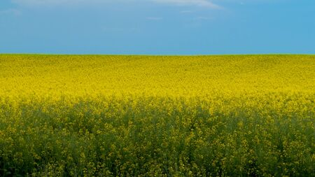 Rapeseed - Canola field on bright summer day Stockfoto