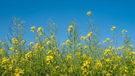Blooming Rapeseed Flowers in Summer Stockfoto
