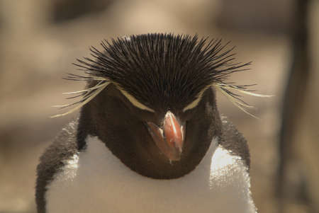A rock-hopping penguin with his eyes closed. Foto de archivo