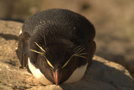 A rock-hopping penguin is lying on a rock, basking in the sun.