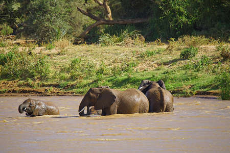 The elephant and the baby are playing in the river. Large numbers of animals migrate to the Masai Mara National Wildlife Refuge in Kenya, Africa. 2016.