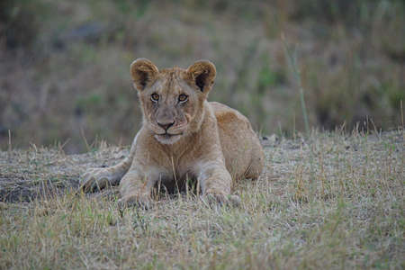 The little lion was lying on the grass, and it looked like a cat. Large numbers of animals migrate to the Masai Mara National Wildlife Refuge in Kenya, Africa. 2016.