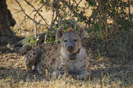 A hyena lay on the grass. Two eyes stared at the camera. Large numbers of animals migrate to the Masai Mara National Wildlife Refuge in Kenya, Africa. 2016.