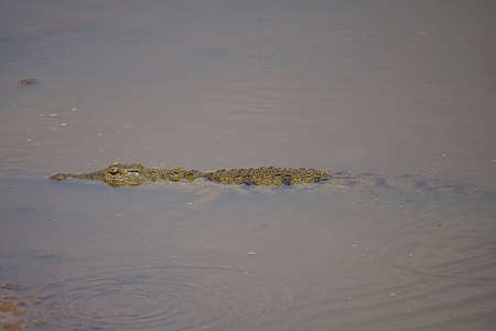 An African crocodile hides in the water of a pond. Large numbers of animals migrate to the Masai Mara National Wildlife Refuge in Kenya, Africa. 2016.