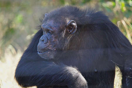 The chimpanzee imitates a person's sitting position. His eyes gazed to the left. Large numbers of animals migrate to the Masai Mara National Wildlife Refuge in Kenya, Africa. 2016.