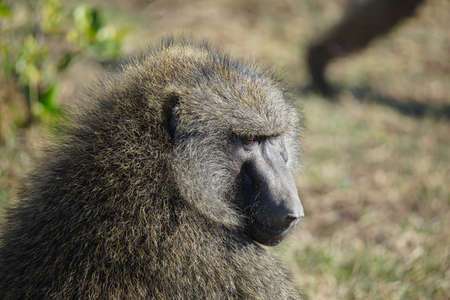 The olive baboon looked down at the grass. It's like a person is thinking. Large numbers of animals migrate to the Masai Mara National Wildlife Refuge in Kenya, Africa. 2016.