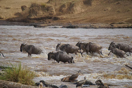 Many African Wildebeests (Gnu) migrate. They cross the Mara river. some death. Large numbers of animals migrate to the Masai Mara National Wildlife Refuge in Kenya, Africa. 2016. Foto de archivo