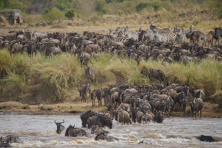Wildebeests and Zebras migrate. They cross the Mara river. some death. Large numbers of animals migrate to the Masai Mara National Wildlife Refuge in Kenya, Africa. 2016. Stock Photo