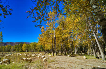 Many sheep with horns graze on the grass. Blue sky, yellow trees, green trees. Picturesque natural landscape. Keketuohai Scenic Area. Xinjiang, China. 2018