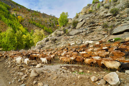 A flock of sheep walking on the road by a rocky mountain. White and brown wool. Picturesque natural landscape. Keketuohai Scenic Area. Xinjiang, China. 2018