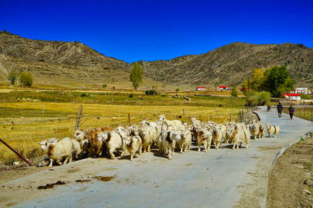 The sheep walk along the country road and the shepherd follows them. Blue sky. Picturesque natural landscape. Keketuohai Scenic Area. Xinjiang, China. 2018