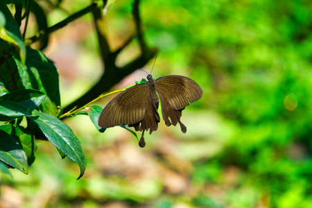 A black butterfly rests on the tea leaves of the tea garden. Bihushan Tea Garden, Meishan Township. Chiayi County, Taiwan. Sep. 2021