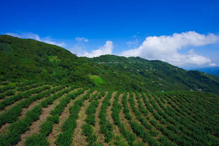 The tea plantations on the hilltop are often shrouded in clouds and fog. Bihushan Tea Garden, Meishan Township. Chiayi County, Taiwan. Sep. 2021