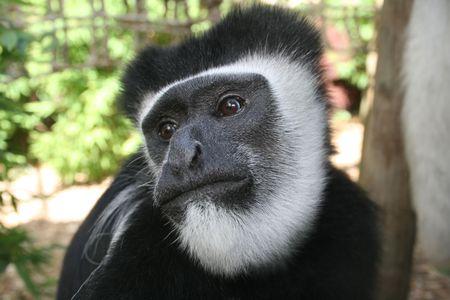 blackandwhite: Black-and-white colobus