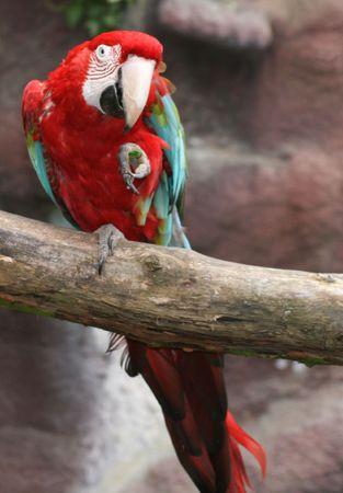 psittacidae: macaw