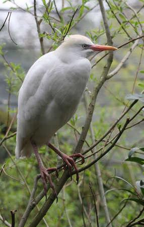 ardeidae: Cattle Egret