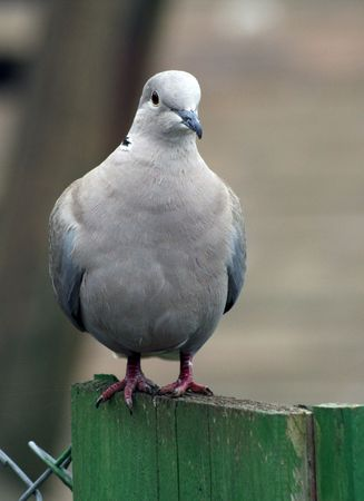 singly: collared dove