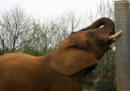 poaching: African elephant