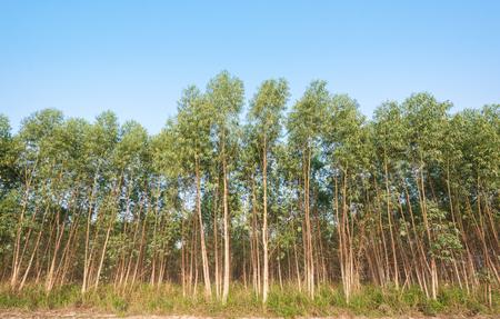 eucalyptus trees: Eucalyptus trees Stock Photo