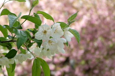 cloesup: cloesup apple blossoms  in spring on cherry blossoms background