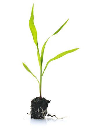 Young sweetcorn seedling with mud shot on a white background Stock Photo