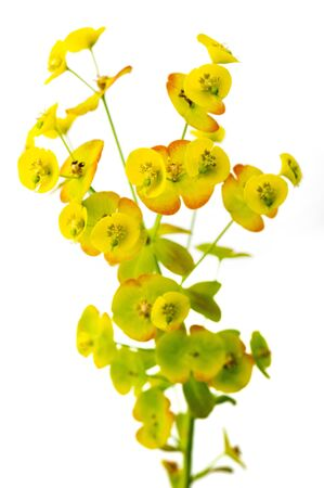 Euphorbia plant shot on a white background Stock Photo