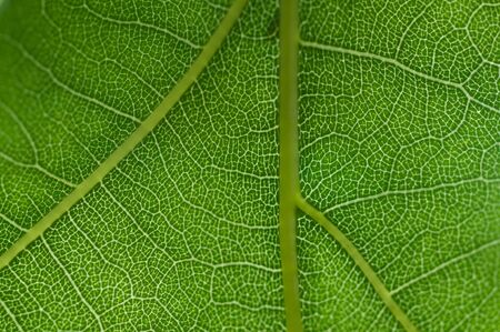 Close-up of a Oak tree leaf