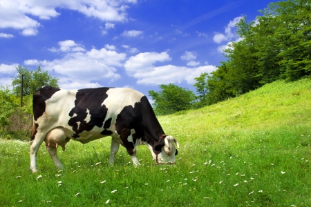 Spotted cow grazing on beautiful green meadow against a blue sky photo