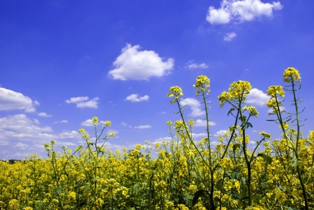 Close up shot of beautiful mustard plants against a blue sky