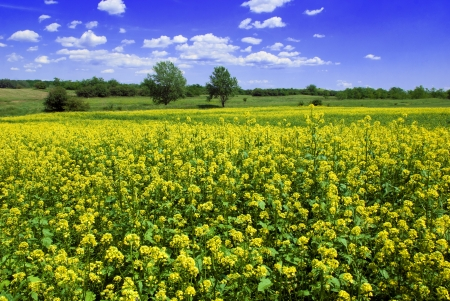 mustard field: Mustard field against a blue sky - beautiful landscape Stock Photo