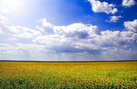 sunflower field: Beautiful sunflower field against a blue sky Stock Photo