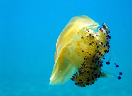 Underwater shot of yellow jellyfish with copy space