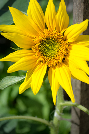 A fully bloomed sunflower close up shot.